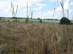 Corn field and Bluecherry1408