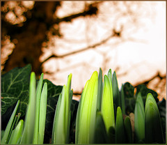 Daffodils and innpictime