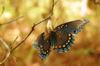 Butterfly_pezlet